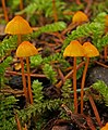 Mycena strobilinoidea Peck 375302.jpg