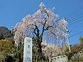 Myogi-jinja sakura.jpg