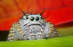 Jumping spider - Wikipedia, the free encyclopedia