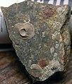 Mystery holdfasts + crinoid holdfasts on Latitemnocheilus sp. nautiloid shell (Poverty Run Limestone) (16549775961).jpg