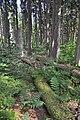 NPR Boubínský prales 20120910 19.jpg
