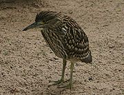 Nankeen Night Heron juvenile.jpg
