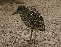 Nankeen Night Heron juvenile