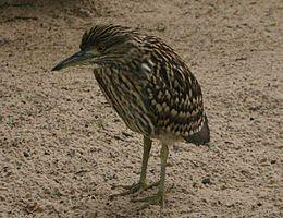 Nankeen Night Heron juvenile