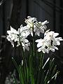 Narcissus papyraceus-Jerusalem.jpg