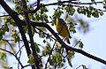 Nashville Warbler (13892091531).jpg