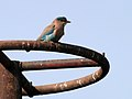 Neelkanth - Indian roller.JPG
