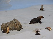 Male with harem at Seal Bay Conservation Park on Kangaroo Island, South Australia