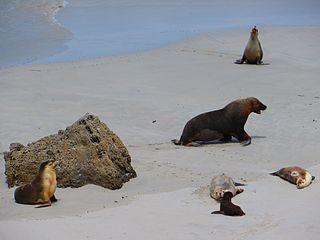 Australian sea lion species of mammal