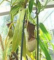 Nepenthes burkei1.jpg