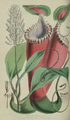 Nepenthes edwardsiana Life in the forests of the Far East.png