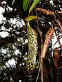Nepenthes mikei2.JPG