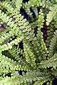 Nephrolepis cordifolia Duffii 1zz.jpg