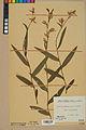 Neuchâtel Herbarium - Cephalanthera rubra - NEU000046819.jpg