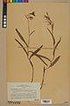 Neuchâtel Herbarium - Cephalanthera rubra - NEU000046841.jpg