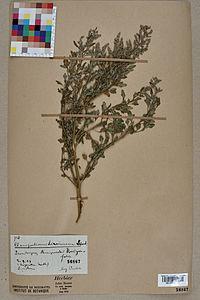 Neuchâtel Herbarium - Chenopodium hircinum - NEU000004560.jpg