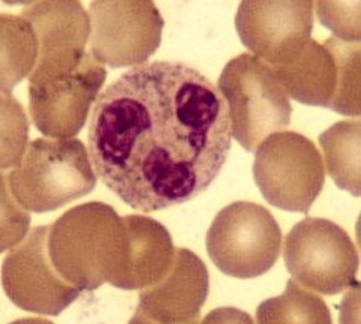 Granulocyte - A neutrophil with a segmented nucleus (center and  surrounded by erythrocytes), the intra-cellular granules are visible in the cytoplasm (Giemsa-stained high magnification)