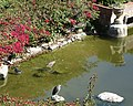 Night heron family fishing (48161283521).jpg