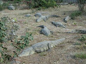 Nilkrokodile (Crocodylus niloticus)