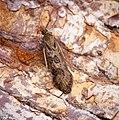 Nomophila noctuella (31156658066).jpg