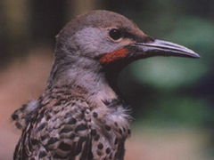 NorthernFlicker23.jpg