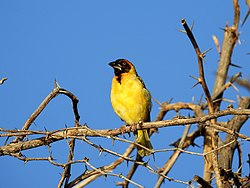 Northern Masked Weaver.jpg