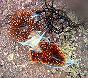 Nudibranchs (Hermissenda crassicornis) in Moss Beach, California.