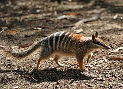 meaning of numbat