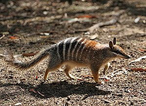 Western Shield - A numbat, one of the many species to benefit from Western Shield