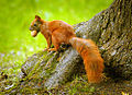 Nutty squirrel (19493238813).jpg
