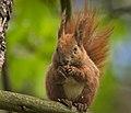 Nutty squirrel (49829199987).jpg