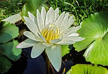 North American Moving >> Nymphaea odorata - Wikipedia