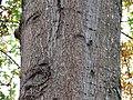 Oak (31120161562).jpg
