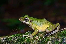 Odorrana hosii, Hose's frog.jpg