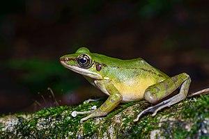Hose's frog - Image: Odorrana hosii, Hose's frog