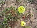 Oenothera drummondii 1.JPG