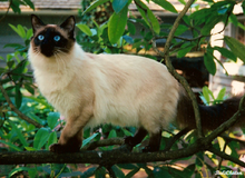 Old-Style Balinese Cat.png