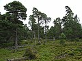 Old Pines - geograph.org.uk - 516138.jpg