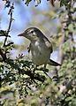 Olive-tree warbler, Hippolais olivetorum, at Zaagkuildrift Road near Kgomo Kgomo, Limpopo, South Africa (33525146956).jpg