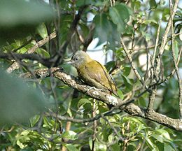 Olive Woodpecker mosese jan06.jpg