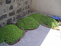 Olive harvest in Capernaum 12.JPG