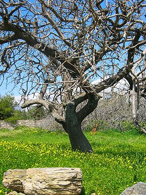 Spring view of an olive tree in the valley of Karystos, Greece.
