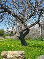 Olive tree Karystos.jpg