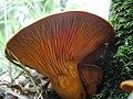 Omphalotus olearius 23058140.jpg