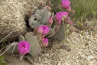 Opuntia basilaris Mojave.jpg