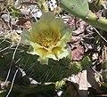 Opuntia cymochila.jpg
