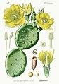 Opuntia ficus-indica - Flora von Deutschland (Pl. 355).jpg