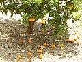 Orangen Mallorca 2008 2.JPG