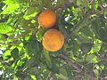 Oranges (1242270282).jpg