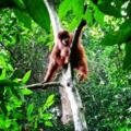 Orangutan Sumatra.png